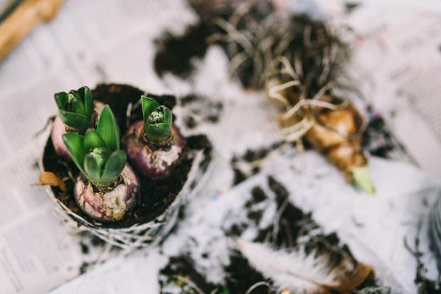 kaboompics.com_Hyacinth